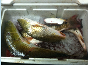 an open ice chest filled with fish